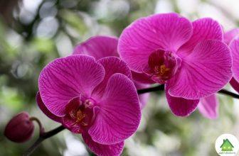 Фаленопсис орхидея уход в домашних условиях