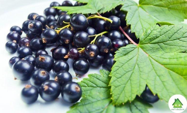черная смородина уход и выращивание болезни