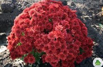 Шаровидная хризантема: выращивание и правила ухода
